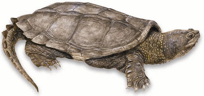 CommonSnappingTurtle