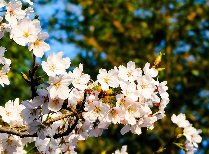 cherry%20blossoms